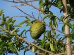 Krebs: Heilende Tropenfrucht ist wirksamer als Chemotherapie